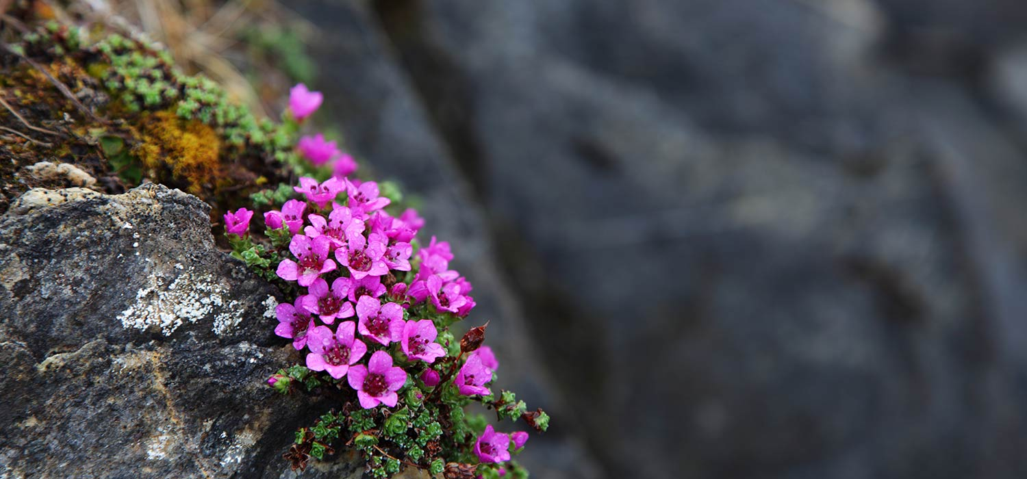 Mountain flower with violet petals alone on a rock wall.