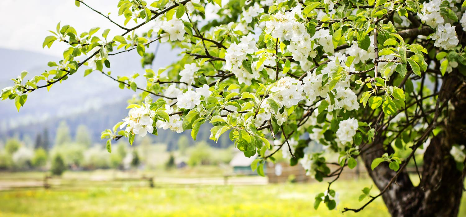 A white blooming apple tree.